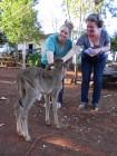 Pesquisadora Irma Amores se encanta com terneira da raça zebu