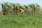 Cana-de-açúcar deixou de ser ofertada às vacas porque atraíam abelhas.